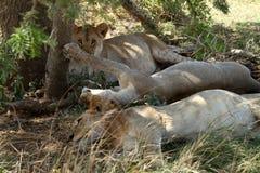 Löwen in der Serengeti-Savanne lizenzfreies stockbild