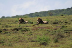 Löwen in der Sonne Stockbilder