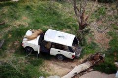 Löwen, die auf einem Auto stillstehen stockfotos
