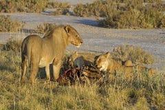 Löwen, die auf einer Zebrakarkasse essen Lizenzfreies Stockfoto