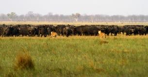 Löwen, die Büffel jagen Stockfoto