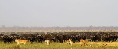Löwen, die Büffel jagen Stockbild
