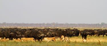 Löwen, die Büffel jagen Stockfotos
