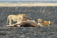 Löwen, die ein Opfer, Nationalpark Serengeti, Tansania essen stockfotografie