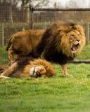 Löwen, die herum spielen Stockbild