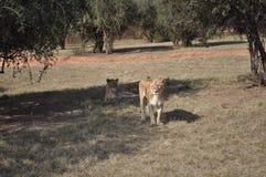 Löwen, die nach dem Mittagessen suchen Stockbild