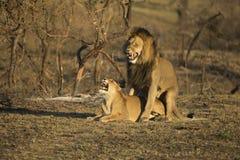 Löwen, die Südafrika züchten stockfoto