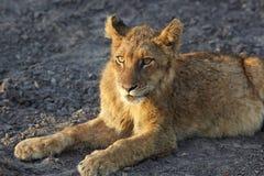 Löwen im Ruhezustand Stockfotografie