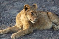 Löwen im Ruhezustand Stockfotos