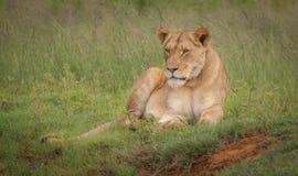 Löwen im wilden in Kwazulu Natal Lizenzfreie Stockbilder