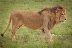 Löwen im wilden in Kwazulu Natal Lizenzfreie Stockfotografie