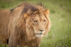 Löwen im wilden in Kwazulu Natal Stockbilder