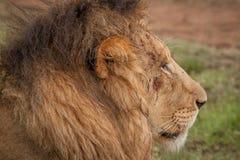 Löwen im wilden in Kwazulu Natal Lizenzfreies Stockfoto