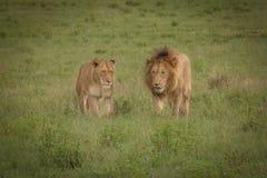 Löwen im wilden in Kwazulu Natal Lizenzfreies Stockbild