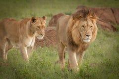 Löwen im wilden in Kwazulu Natal Stockfotografie