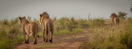 Löwen im wilden in Kwazulu Natal Stockbild