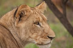 Löwen im wilden in Kwazulu Natal Stockfotos