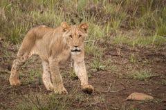 Löwen im wilden in Kwazulu Natal Lizenzfreie Stockfotos