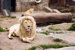 Löwen im Zoo stockfoto