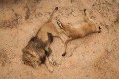 Löwen in Lissabon-Zoo Stockbilder