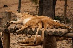 Löwen in Lissabon-Zoo Lizenzfreie Stockbilder