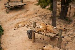 Löwen in Lissabon-Zoo Stockbild