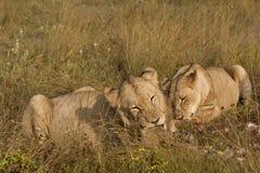Löwen mit geschmackvollen Stückchen Stockfoto
