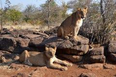 Löwen nahe Victoria Falls in Botswana, Afrika stockbild