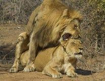Löwen - Nationalpark-fügende Paare Kruger Stockfotografie