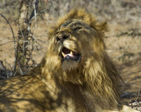 Löwen - Nationalpark-fügende Paare Kruger Lizenzfreie Stockbilder