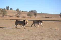 Löwen in Nationalpark Kgaligadi Lizenzfreie Stockfotos