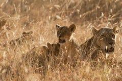 Löwen pride im Gras am Sonnenuntergang Lizenzfreie Stockbilder