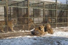 L?wen und sibirische Tiger in der Gefangenschaft an einem Tag des Winters stockfoto