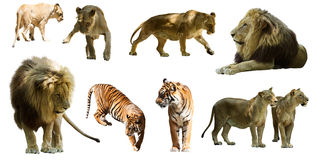 Löwen und tigres Lokalisiert über Weiß Stockfotografie