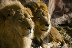 Löwen Vater und Sohn Lizenzfreie Stockbilder