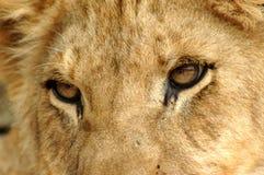 Löwenahaufnahme Stockbild