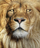 Löwenahaufnahme Stockfoto