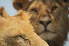 Löwenahaufnahme Lizenzfreies Stockbild