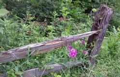 Löwenmäuler, die entlang einem vergessenen Zaun wachsen stockfoto
