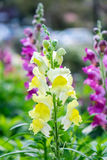 Löwenmaul, Scrophulariaceae, gelbe Blume schön Lizenzfreie Stockbilder
