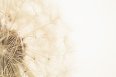Löwenzahn Stockbilder