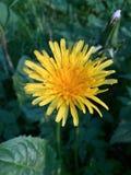 Löwenzahn-Anlage in der Blume lizenzfreie stockfotografie