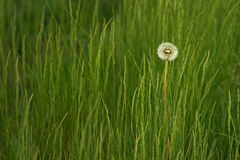 Löwenzahn auf einer grünen Wiese stockfotos
