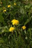 Löwenzahn Blume Feld Stockbild