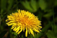 Löwenzahn Blume Feld Lizenzfreie Stockbilder
