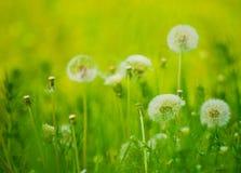 Löwenzahn-Blumen in einer grünen Wiese Lizenzfreie Stockfotografie