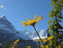 Löwenzahn in den Alpen Lizenzfreie Stockfotografie