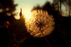 Löwenzahn in den Sonnenuntergangstrahlen Lizenzfreie Stockfotos