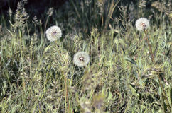 Löwenzahn in einem Gras Stockfotos