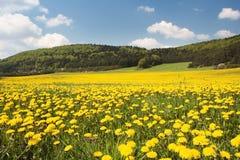 Löwenzahn-Feld Stockfoto